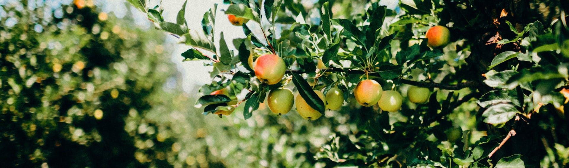 Apples-Tree-ANXO