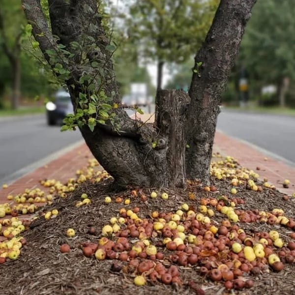 WASHINGTONIAN – Forage Apples Around DC and Get Paid in Cider from Anxo