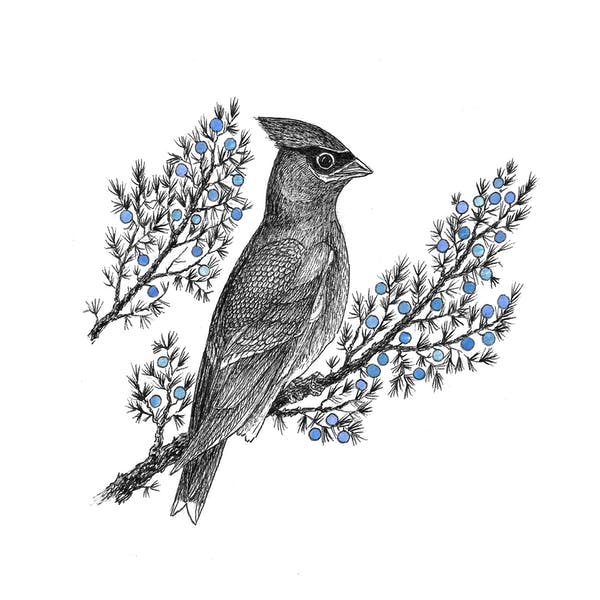 Image or graphic for Waxwing