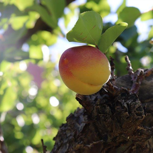 PHOTO ESSAY – An Apricot's Journey
