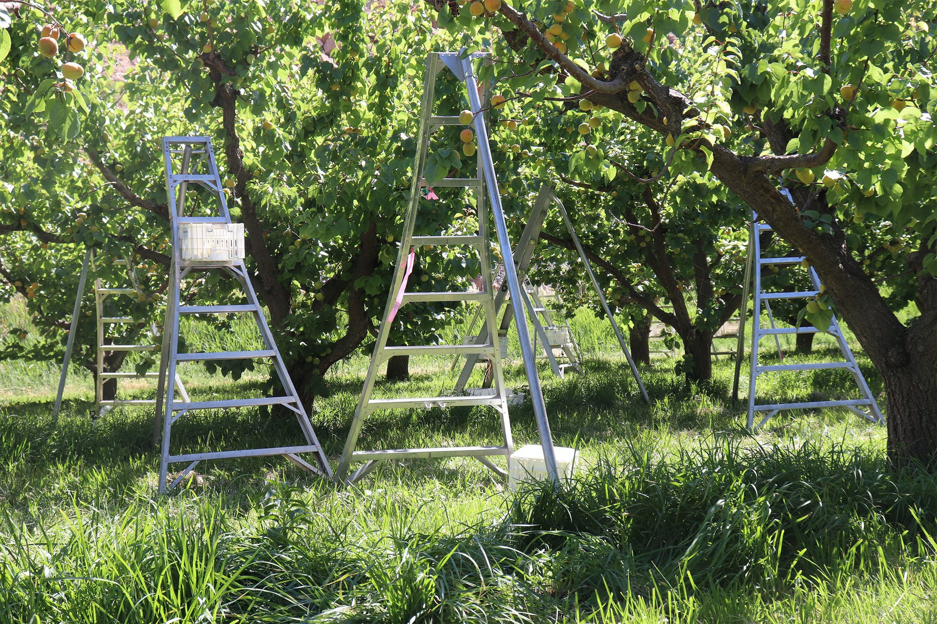 Photo Essay - An Apricot's Journey