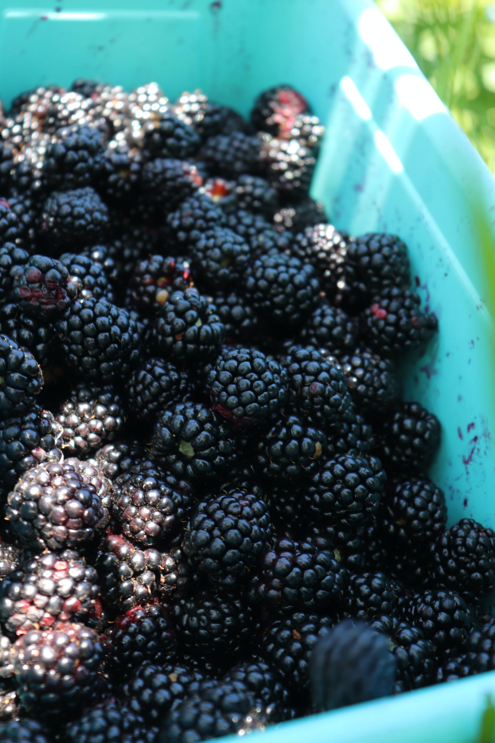 Blackberries In. Bucket