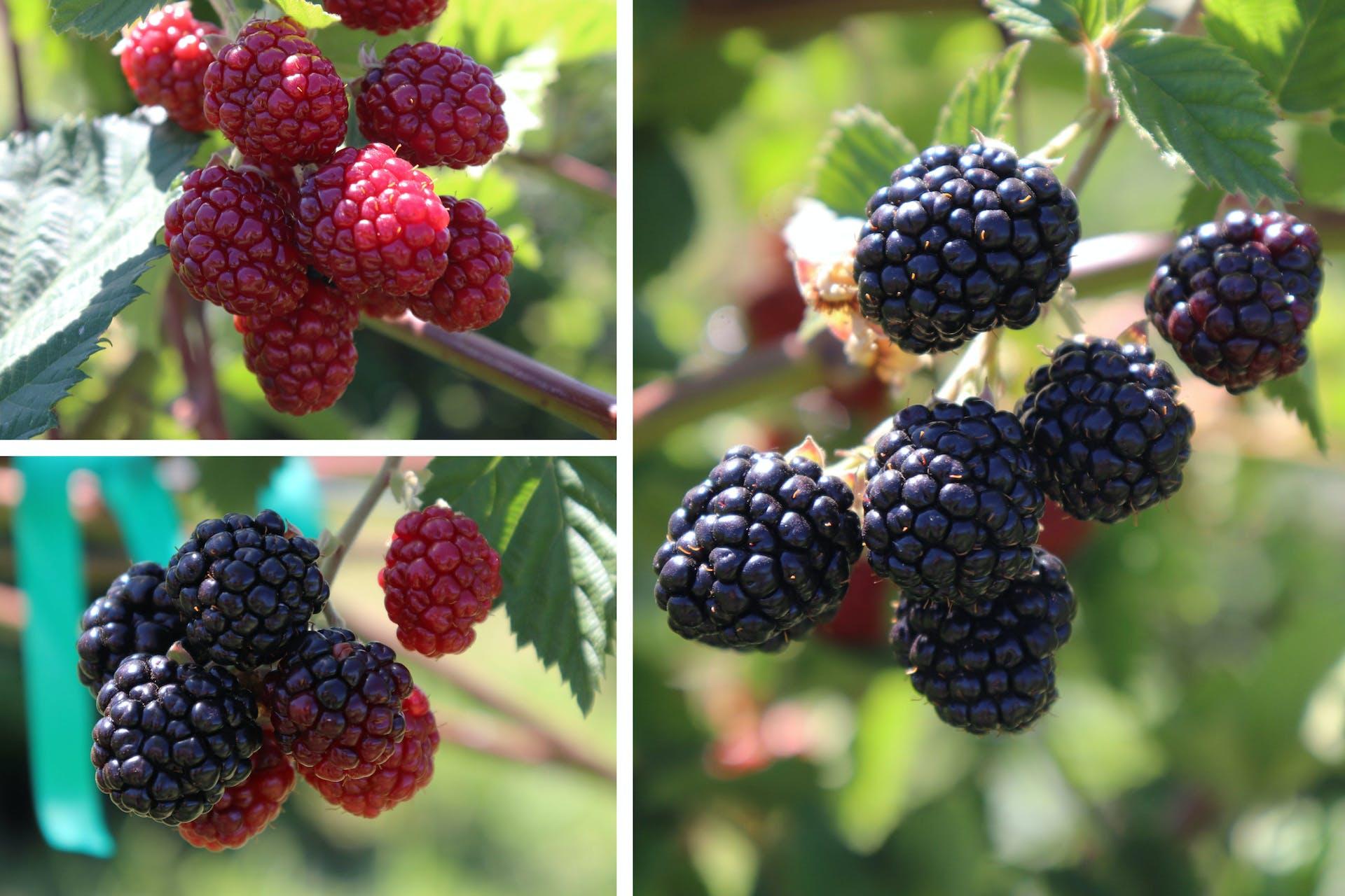 Hotchkiss Blackberries