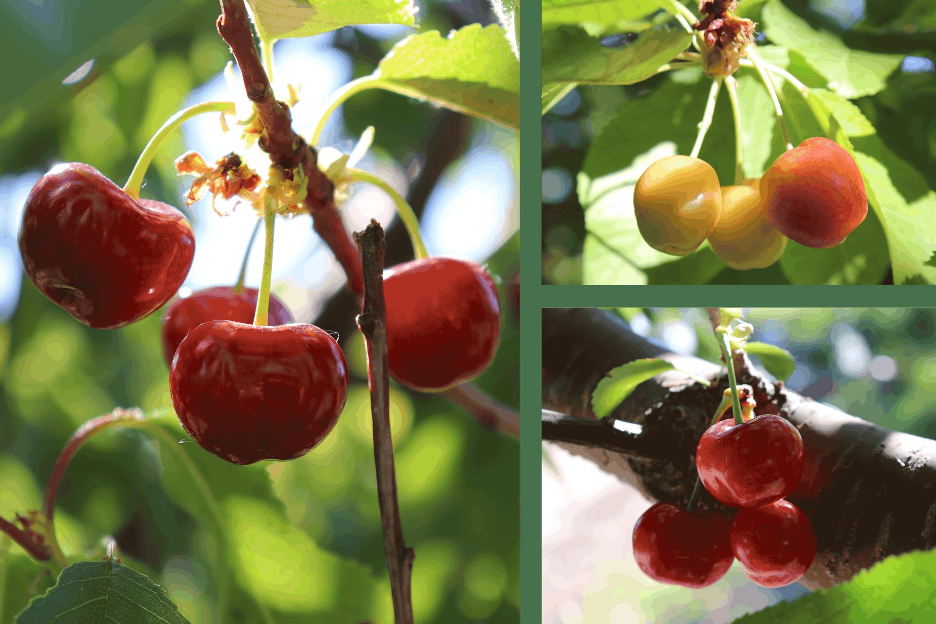 Cherry Varieties on Trees