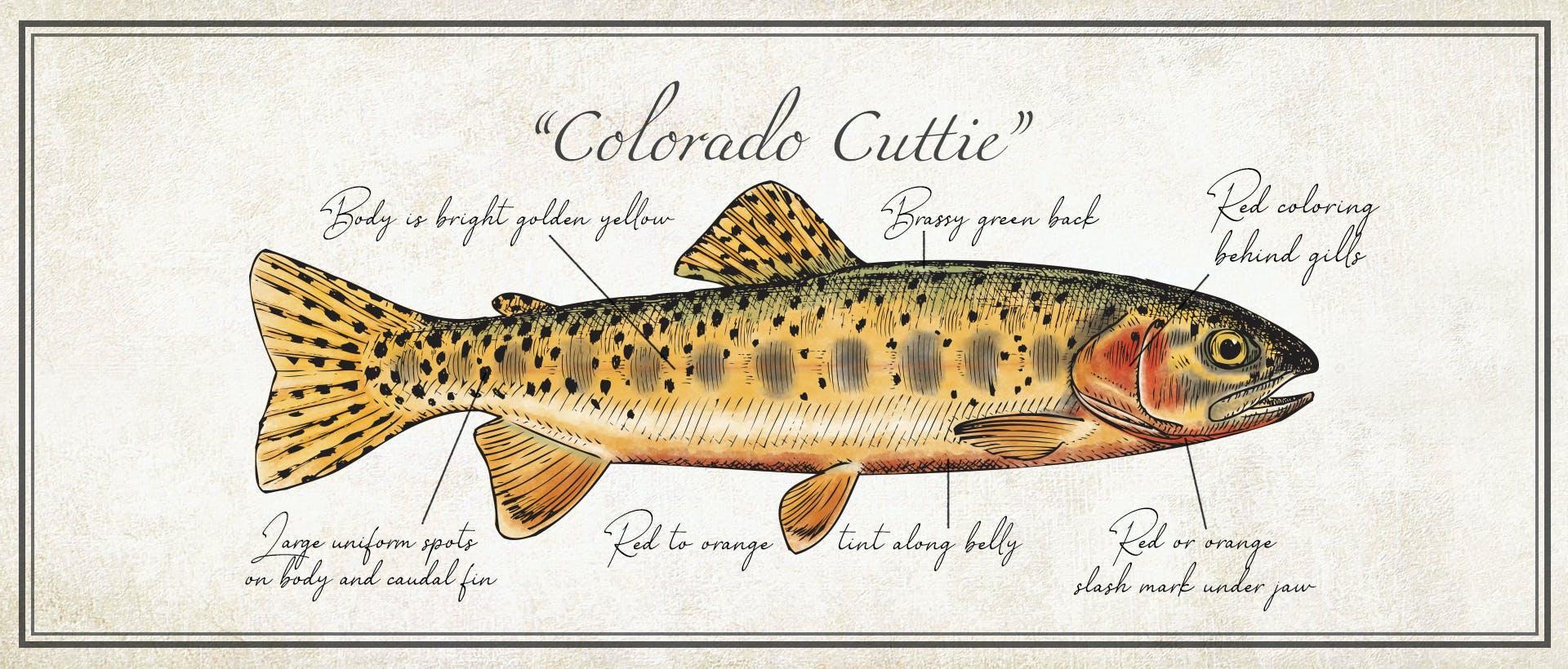Co Cuttie Banner_05