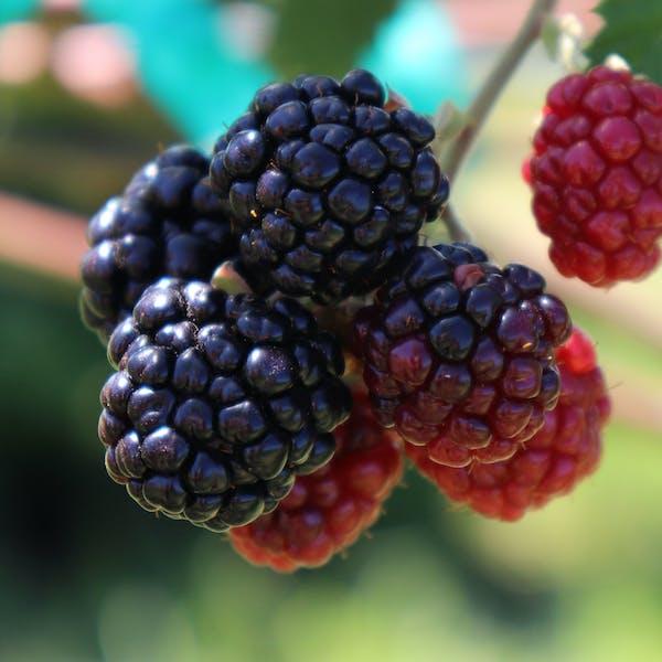 Photo Essay   Blackberries