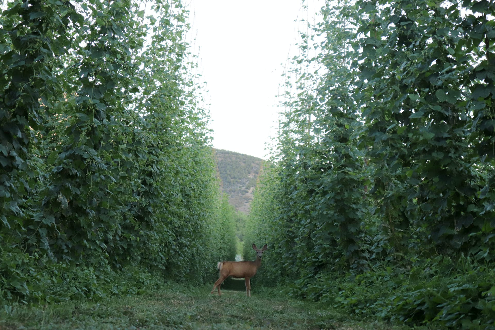 High Wire Hops_Deer