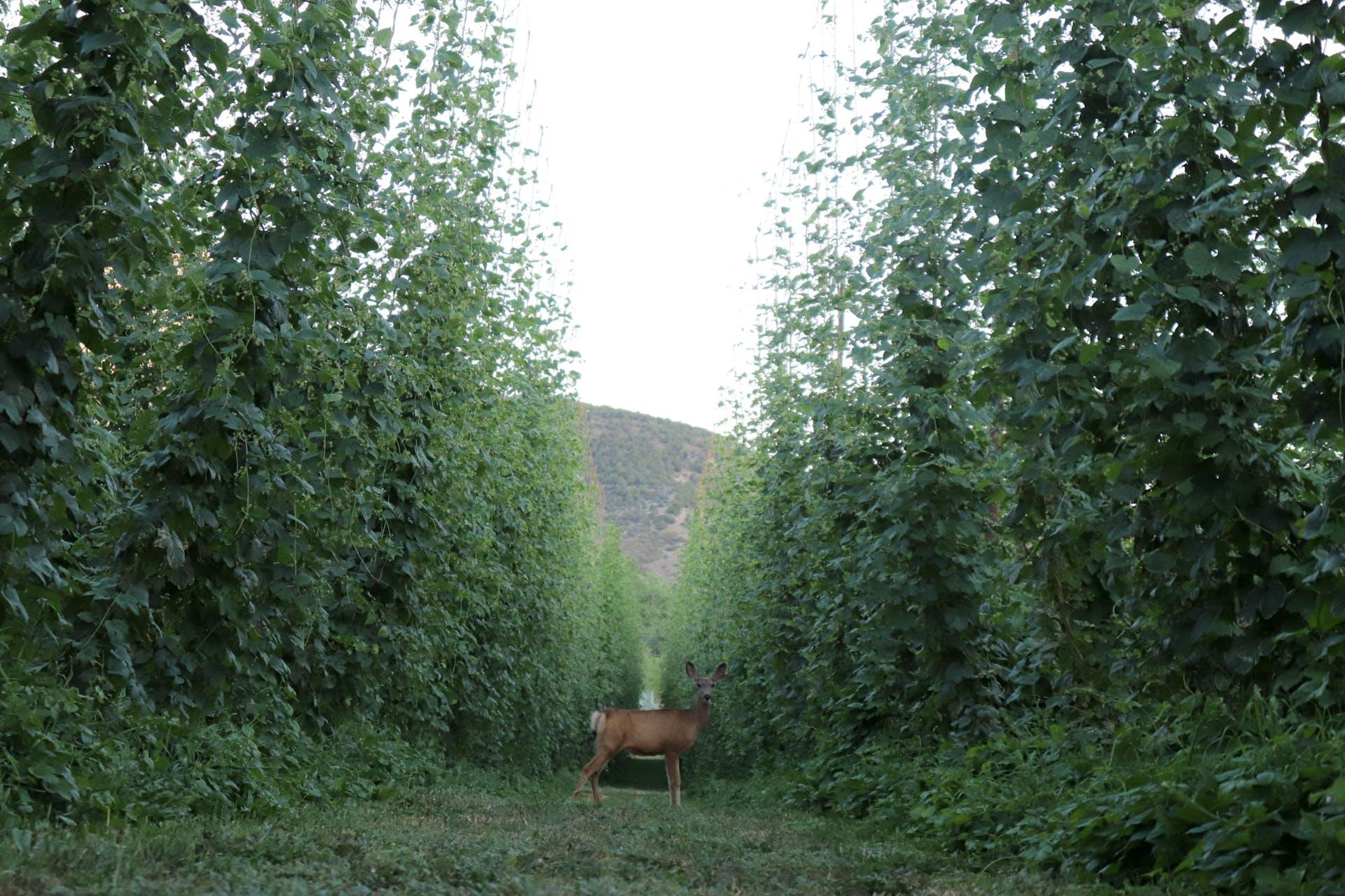 High Wire Hops_Deer