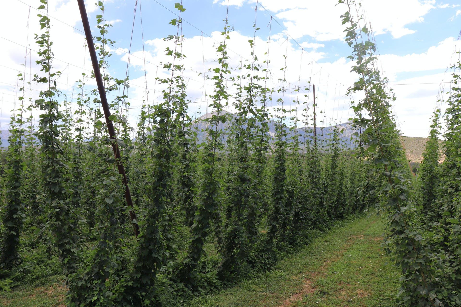 High Wire Hops Farm