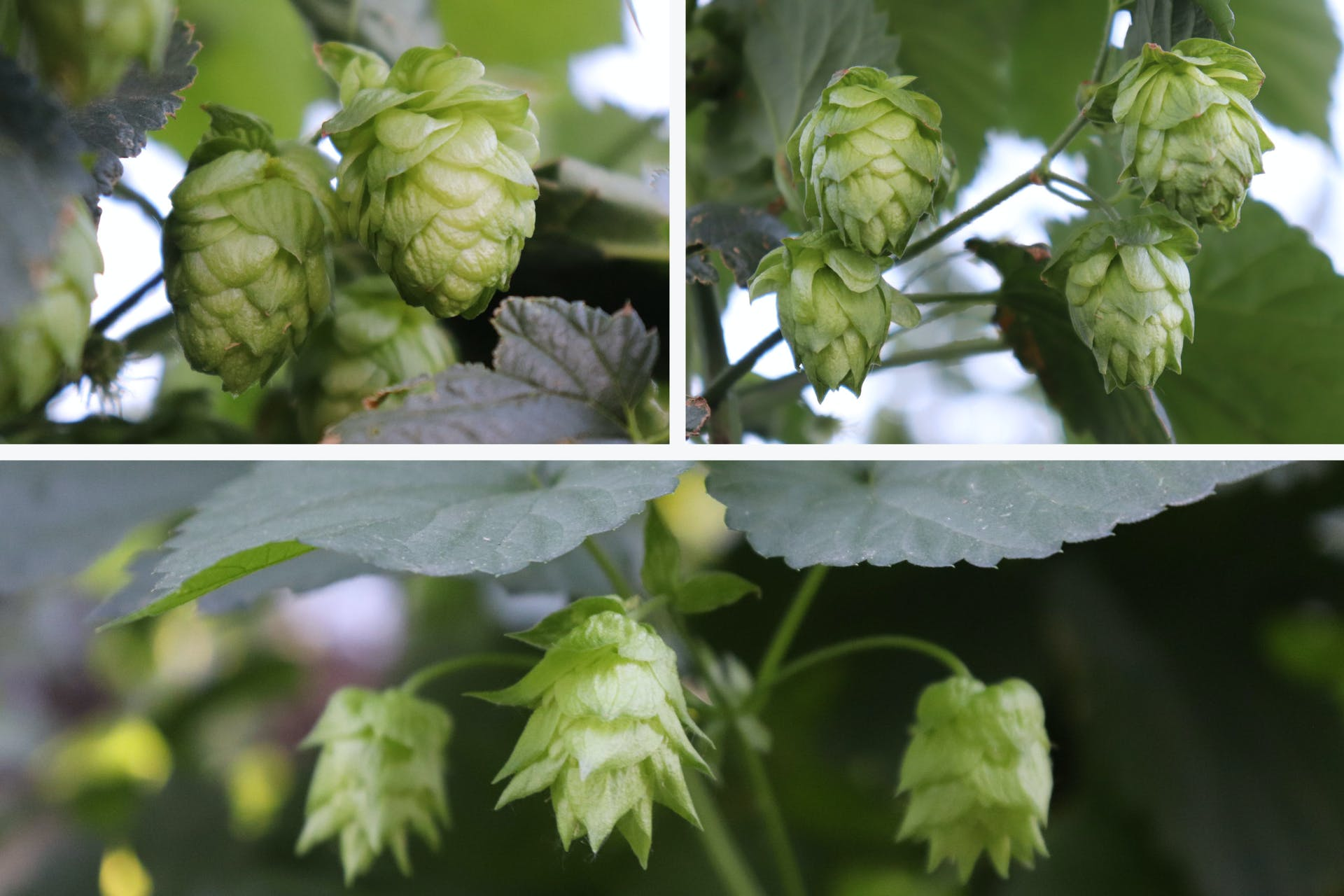 High Wire Hops_Varieties