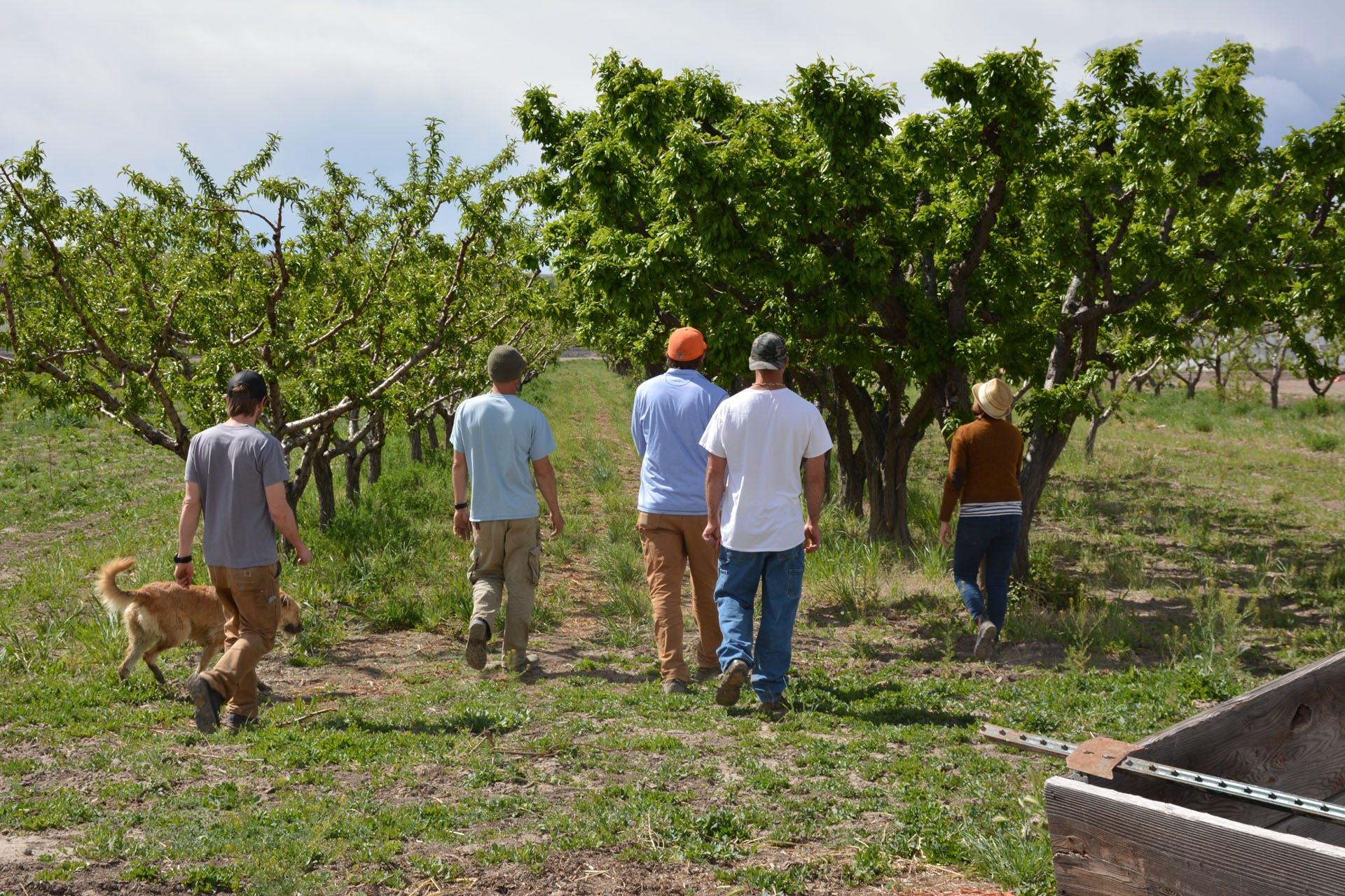 Nectarine Orchard 1
