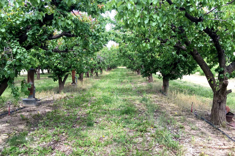 Nectarine Orchard 5