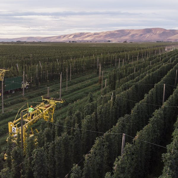 The wonder of the fresh hop: How Washington's special autumn beer gets made