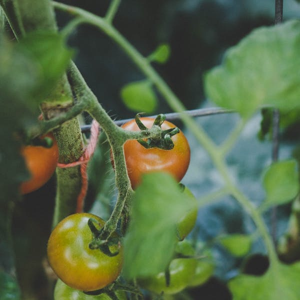 tomatoes urban garden