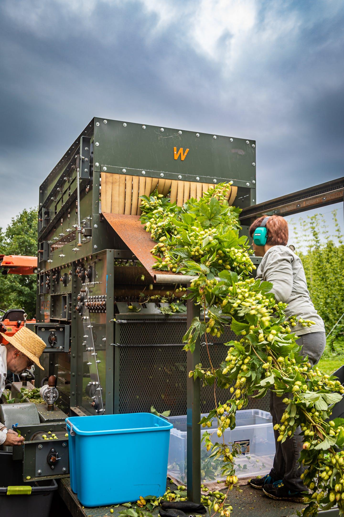 Whitefield Wet Hops lg 20190830 016