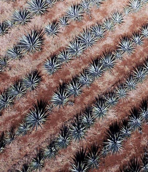 Lowland blue weber agave